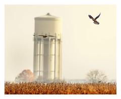 Turm - Falken (hardy-gjK) Tags: kestrel falke turmfalke falcon tower turm nikon softlight sunrice