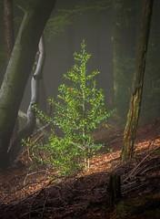 Holly ('Mark Harris') Tags: hermannsweg beech tree forest