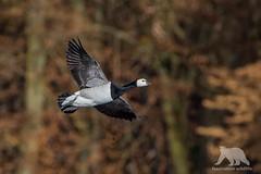 Barnacle Goose (fascinationwildlife) Tags: animal bird goose barnacle nonnengans gans vogel birding wiwi nature natur inflight nymphenburg munich mnchen deutschland germany park winter