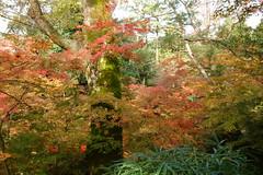 DSC02773 (MrSUIZOU) Tags: 京都 紅葉 北野天満宮 平野神社 十月桜