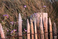 cloture LM+35 2003561 (mich53 - thank you for your comments and 3M views!) Tags: posie flowers sunset coucherdesoleil lespieux france normandie normandy clture beaut leicamtype240 ledefrance dunes tlmtre fleurs vacances 2016