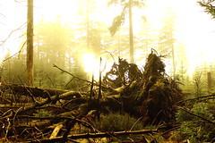 Fallen Tree (Harz) (Daniel Ascher) Tags: wald forest bäume baum tree baumstumpf sturm sun canon 700d rebel wood germany deutschland