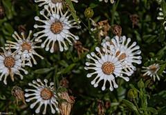 161026 110409 (friiskiwi) Tags: spring flowers nelson newzealand nz