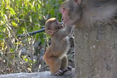 DSC_3465littlemonkey (BasiaBM) Tags: swayambhunath monkey temple kathmandu nepal