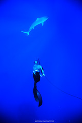 aumakua (Aaron Lynton) Tags: aumakua shark tiger tigershark spear spea spearfishing spl hawaii maui under underwater canon 7d team lyntonproductions lynton diving onebreath apnea
