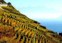 Sun-facing slopes (oobwoodman) Tags: switzerland suisse schweiz vaud vignoble vineyards vigne vin vignes wine wein rebe lakegeneva lake lman lac lausanne leman lavaux grapes raisins trauben genfersee autumn automne herbst
