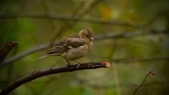 Finch (J @BRX) Tags: adeldam goldenacrepark bramhope leeds yorkshire england uk november2016 autumn yorkshirewildlifetrust bird chaffinch finch male