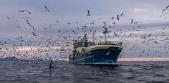 Orcas looking for spoils around a herring seiner (Snemann) Tags: orca troms norway fishingboat fishingboats vessels atsea atwork north pentaxk5 smcpda1650mmf28edalifsdm whales marinemammals coast birds