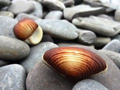 indulgence by the sea (Lovely Pom) Tags: seashells chocolate shape sweet food indulgence rocks sea