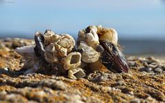 Barnacles on mussels (GaboUruguay) Tags: mejilln mussel seashell shell natural nature canon sx50 powershot favme exploreme explore fave crustacea macro closeup raynox dcr250 gastropod shellfish balanidae balnidos crustceos cirrpedo sessilia barnacle balano rock roca gabopaladino gabrielpaladino
