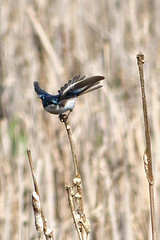 Tree Swallow balance (Delta Naturalists Casual Birding) Tags: 201414 dncb colony dncblocation