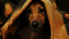 au chaud sous la couverture - Warm under the cover (serial n N6MAA10816) Tags: dog chien jaune yellow cover couverture intrieur