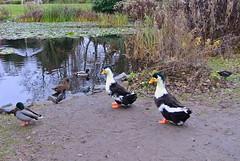 Giant Ducks (ivlys) Tags: darmstadt prinzemilsgarten park ente duck riesengros giant teichhuhn gallinulachloropus vogel bird tier animal landschaft landscape nature ivlys