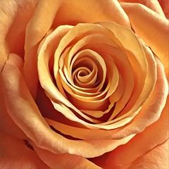 Necessities (Renee Rendler-Kaplan) Tags: rose bouquet peach orange tangerine macro handheld iphone iphoneography bloom blossom flower inside indoors necessities vased vase swirls november 2016 reneerendlerkaplan petals chicagoist consumerist chicagoreader wbez velvety