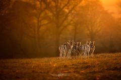 Family (Dan Portch) Tags: knole animals animal wildlife kent knolepark sevenoaksknolepark sevenoaks autumn deer golden morning rut