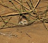 Cheesman's Gerbil? (tom_2014) Tags: gerbil mammal id unidentified species wild wildlife ecology biodiversity nature rodent gerbilus dubai uae unitedarabemirates middleeast smallmammal desert arabia arabian animal