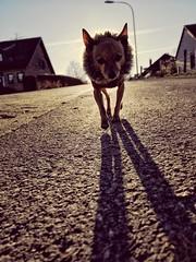 Cold Shit (redstarpictures) Tags: pinscher deutscherpincher germanpinscher minipinscher minipin rehpinscher dog hund gegenlicht backlight winter kalt cold