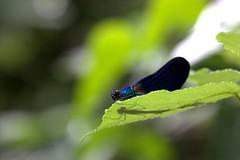 IMG_7281 -1 (glitterkami) Tags: insect dragonfly damoiselle odonate blue shadow nature bokeh predator proxy macro macrodreams macrophotography