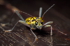 Wasp wannabe (Christian Gloor (mostly) underwater photographer) Tags: beetle yellow black insect closeup macro indonesia sulawesi bug olympus omd em5
