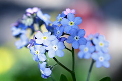 Charming spring flowers (Glockenblume) Tags: flowers flower nature garden spring forgetmenot vergissmeinnicht blueflowers myosotissylvatica supershot mixedflowers mywinners awesomeblossoms silveramazingdetails