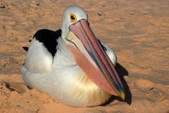 DSC_0652 a (Tartarin2009 (+2,6 Mio views)) Tags: travel explorer ngc australia pelican explore westernaustralia monkeymia thegalaxy australan tartarin2009 allofnatureswildlifelevel1 allofnatureswildlifelevel2 allofnatureswildlifelevel3 allofnatureswildlifelevel4 allofnatureswildlifelevel5 allofnatureswildlifelevel8 allofnatureswildlifelevel6 allofnatureswildlifelevel7 allofnatureswildlifelevel9 magicmomentsinyourlife magicmomentsinyourlifelevel2 magicmomentsinyourlifelevel4 14042012
