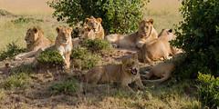 Lions Having a Sunbath