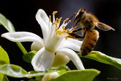 Bee on Lemon Flower (Arnon.Aviv) Tags: flower lemon bee fbdg