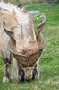 Markhor (LynG67) Tags: wild scotland highlands nikon horns curly kingussie markhor d5100