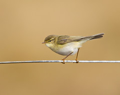 Willow Warbler (35NW3) Tags: willowwarbler