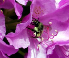 sry13e14 Bee and Rhododendron Blossoms, Surrey BC (CanadaGood) Tags: canada color colour garden insect bc blossom britishcolumbia magenta surrey bee rhododendron 2013 canadagood thisdecade