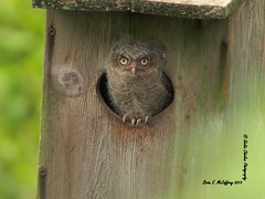 Baby Screech Owl (delrcher) Tags: camera with 300mm 20 f28 teleconverter telecoverter