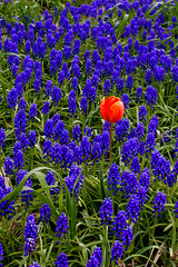 I'm different... [Explore] (Goldy Rose) Tags: flowers blue red flower holland nature field canon spring different tulip bulbfield bollenveld grapehyacint