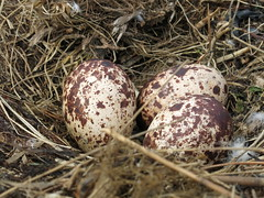 Osprey eggs (reclaimednj) Tags: bird nest nj raptor eggs oceancounty osprey 2013 oceangate canong15