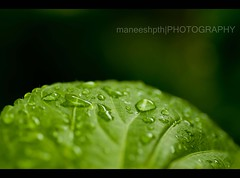 the summer rain.......drops..... (maneeshpth) Tags: green nature water leaves rain kerala monsoon raindrops maneesh maneeshpth
