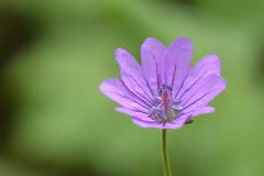 Little purple flower (Rene Mensen) Tags: flower macro nikon purple micro bloem d5100 mygearandme mygearandmepremium mygearandmebronze mygearandmesilver mygearandmegold mygearandmeplatinum mygearandmediamond