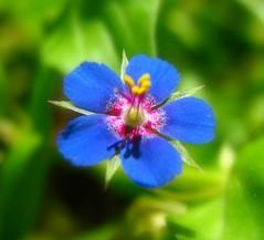 ... something blue .... (D@nnyR) Tags: vpu itsallaboutflowers vpu1 rememberthatmomentlevel1 rememberthatmomentlevel2 rememberthatmomentlevel3 vigilantphotographersunite vpu2 vpu3 vpu4 vpu5 vpu6 vpu7 vpu8 vpu9 vpu10 vpu09
