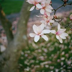 Untitled (Owen Luther) Tags: flowers 6x6 film grass analog mediumformat square spring kodak hasselblad magnolia pedals hasselblad500cm ektar100