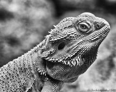 posing (chuckl2432) Tags: bw usa nature monochrome mono hawaii nikon bokeh profile dragons stare honolulu prehistoric lizards serpentine digitalphotography serpents 840 chucklapinsky d7000