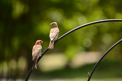 DSC_0615 (kjemem) Tags: bird housefinch