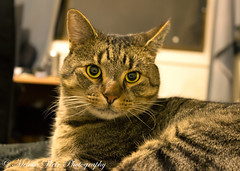 Gizmo (melissaweir) Tags: pet cat canon fur whiskers furball