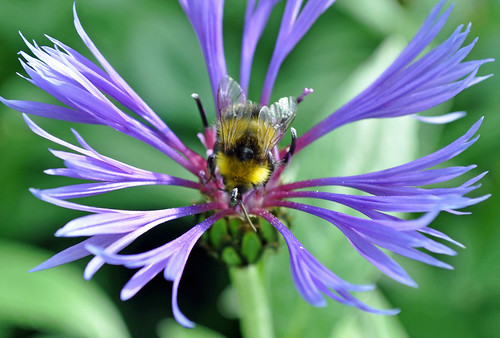 Bee on the Cornflowers