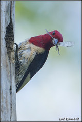 Do ya like my bow tie? (Earl Reinink) Tags: ontario canada art nature photography woodpecker nikon flickr photographer nest image images earl flikr d4 art nikon photography images nature lens ontario canada ontbirds fine earl flight photographer lenses woodpecker woodpecker reinink nesting reinink d4 niagara redheaded 201306150453