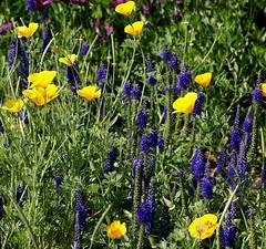 Botanischer Garten Mainz (Mainz Botanic Garden) (HEN-Magonza) Tags: flowers flora blossoms blumen californianpoppy blten eschscholziacalifornica spikedspeedwell botanischergartenmainz kalifornischergoldmohn mainzbotanicgarden veronicaspicatahybridebluebouquet ehrenpreishybride