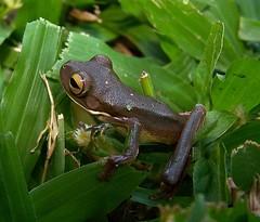 White-lipped Tree-Frog (Oriolus84) Tags: animal wildlife australia amphibian frog townsville litoria litoriainfrafrenata whitelippedtreefrog brownphase