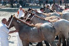 DSC_2315 (Ton van der Weerden) Tags: horses horse dutch de cheval belgian nederlands belges draft chevaux belgisch trait ijzendijke trekpaard trekpaarden