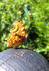 """Comma butterfly • <a style=""""font-size:0.8em;"""" href=""""http://www.flickr.com/photos/57024565@N00/9461309056/"""" target=""""_blank"""">View on Flickr</a>"""