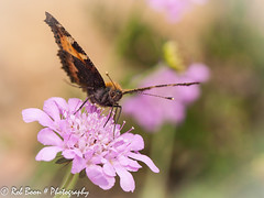 20130809_4923_Vlinder (Rob_Boon) Tags: macro butterfly insect tuin vlinder wijlre robboon