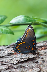 Red-spotted Purple (m_hamad) Tags: park flowers usa flower nature beauty canon butterfly bug insect flying farm wildlife butterflies nationalgeographic butterflyhouse flyinginsect naturebeauty supershot 60d ultimateshot dazzlingshots blinkagain