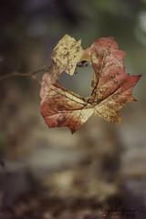 Falling In Love (Photography By Crystal Garcia) Tags: autumn summer orange brown fall love leaves yellow season pumpkin leaf seasons heart spice august crisp purebeauty