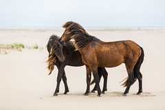 Horseplay (jeff_a_goldberg) Tags: horse canada novascotia wildhorse parkscanada sableisland feralhorse fishermansharbour sableislandhorse sableislandpony sableislandnationalparkreserve